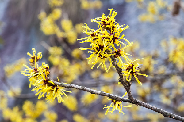 Natural Skin Care Remedy Witch Hazel Lab For You
