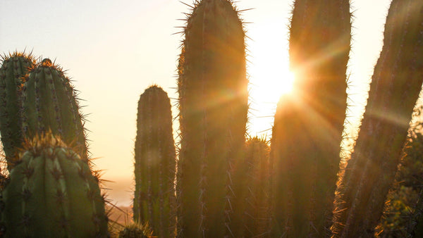 silhouette of cactus at sunset with sun beams shining between the gaps