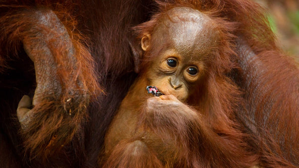 close up of a baby orang utan with its mother's hand touching it