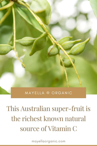 pinterest image of a few young kakadu plums on a branch