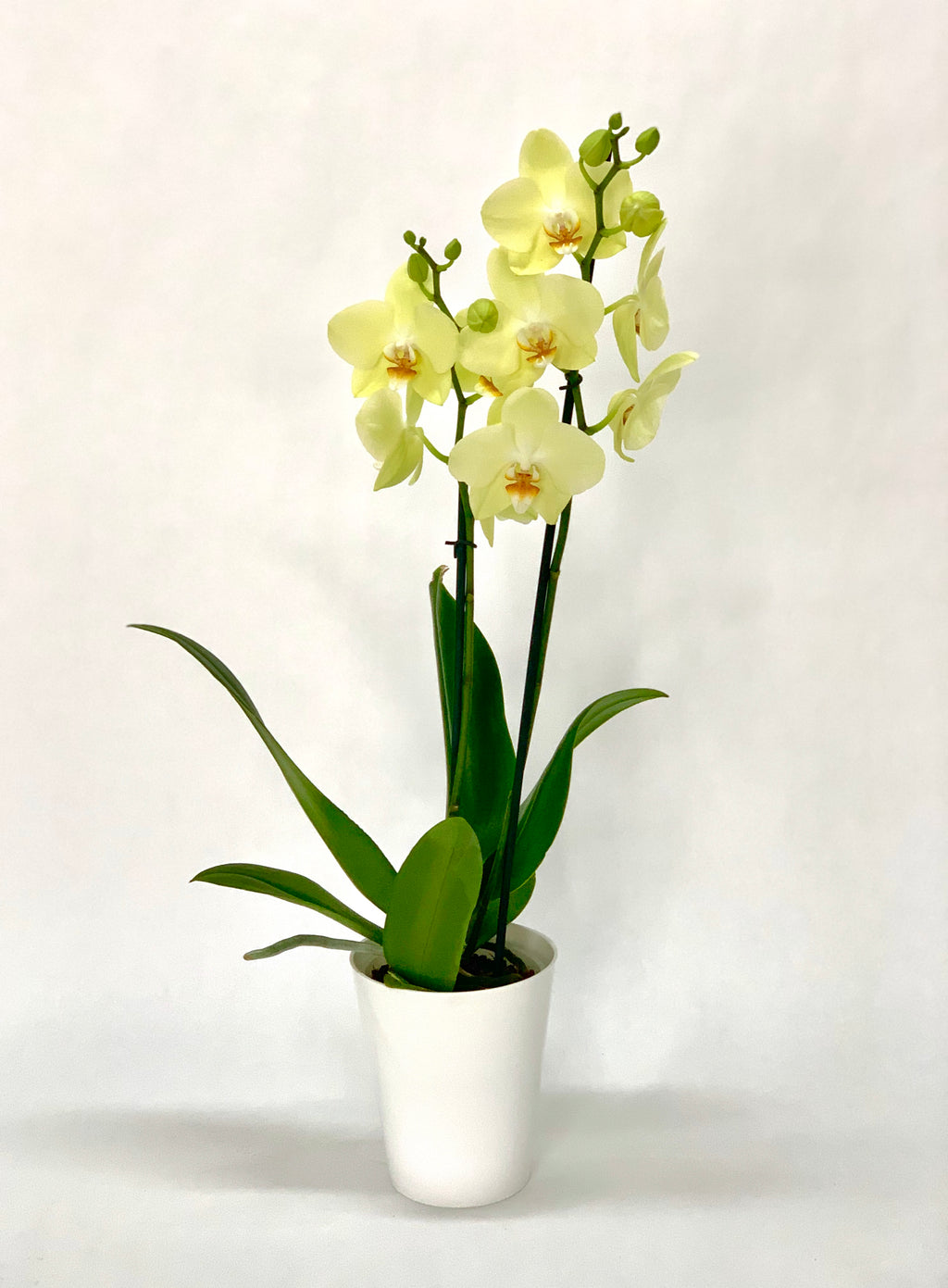 Pote Orchid 5""