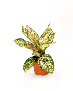 Aglaonema Etta Rose