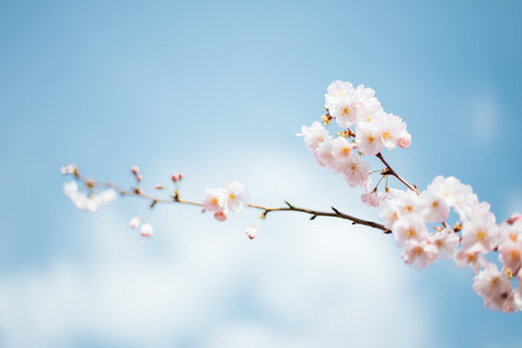 pink and white cherry blossoms on a blue background