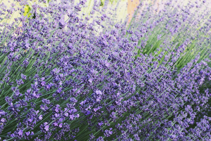 Locke Lavender Farm grown on site at The Barn