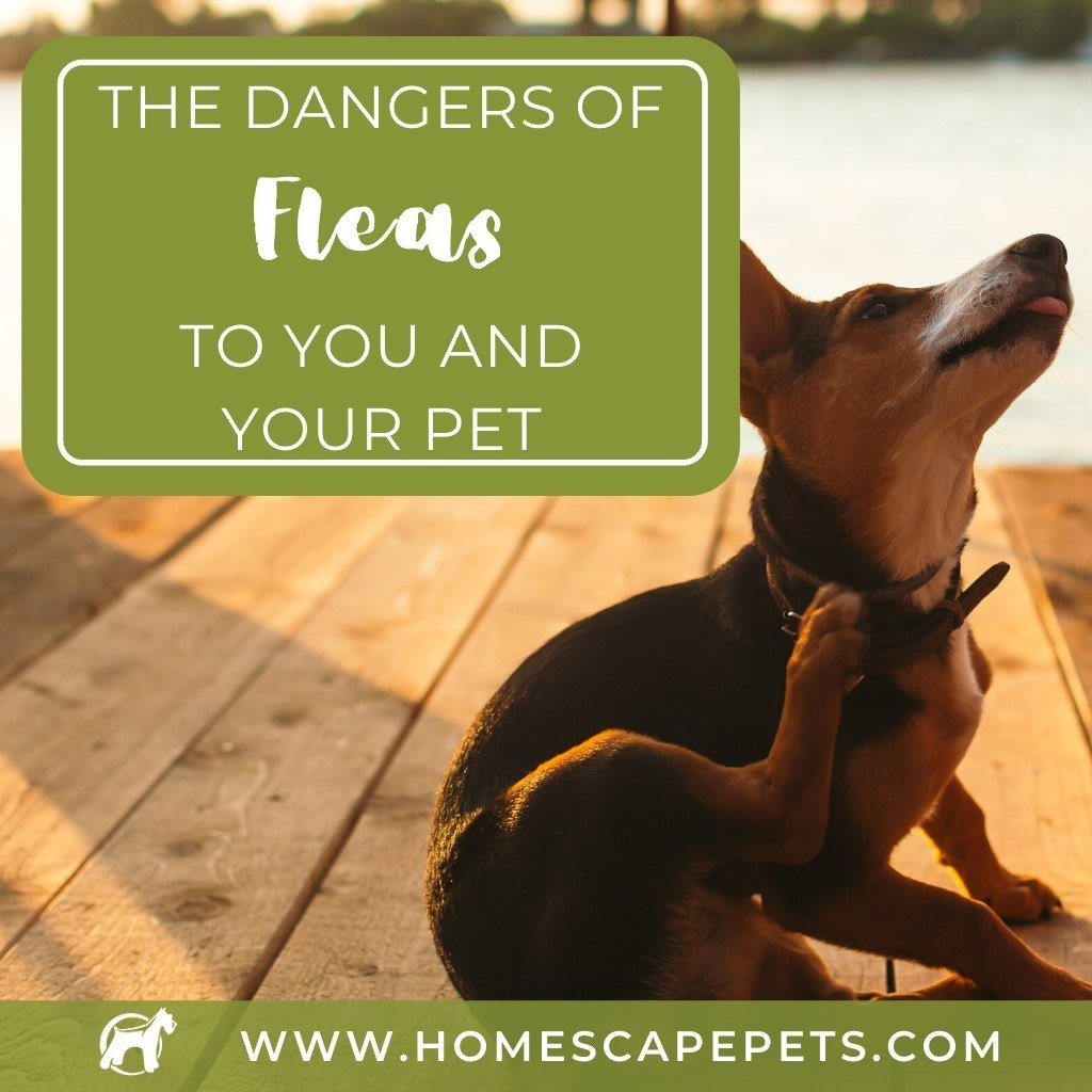 The Dangers Of Fleas To You And Your Pet
