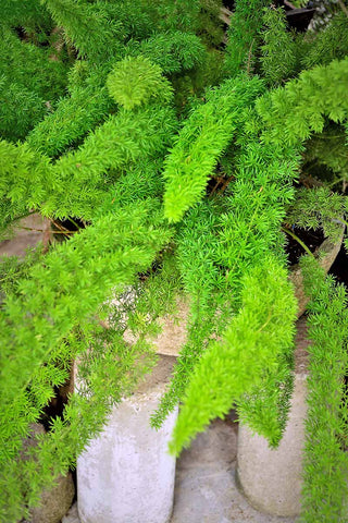 Asparagus Fern - Harmful to Pets