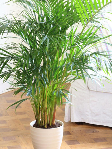Bamboo Palm - Safe for Pets