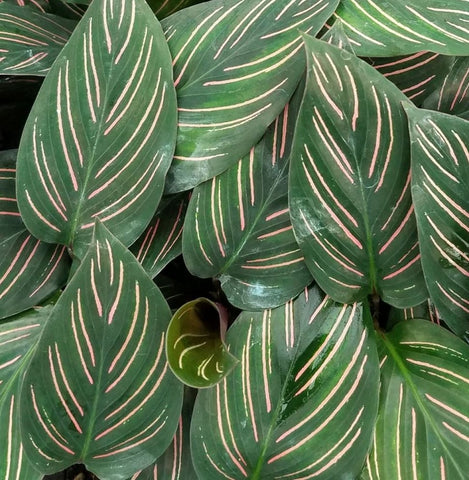 Prayer Plant - Safe for Pets
