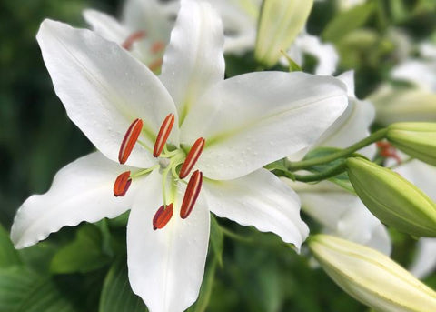 Lilies - Harmful to Pets