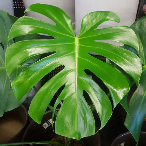 Philodendron - Harmful to Pets