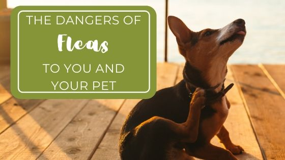 Dangers of Fleas to You And Your Pet