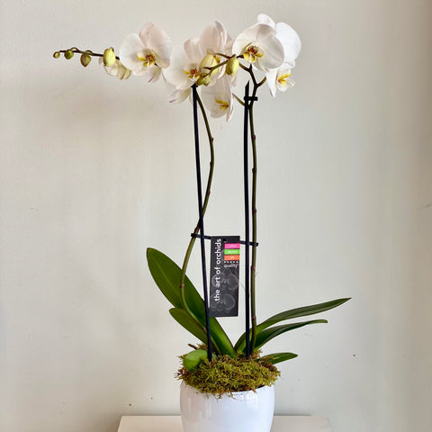 Double Phalaenopsis Orchid in White Ceramic Potcover