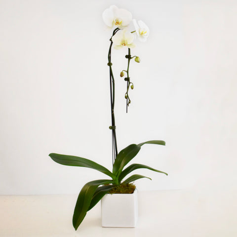 Potted Waterfall Orchid Plant