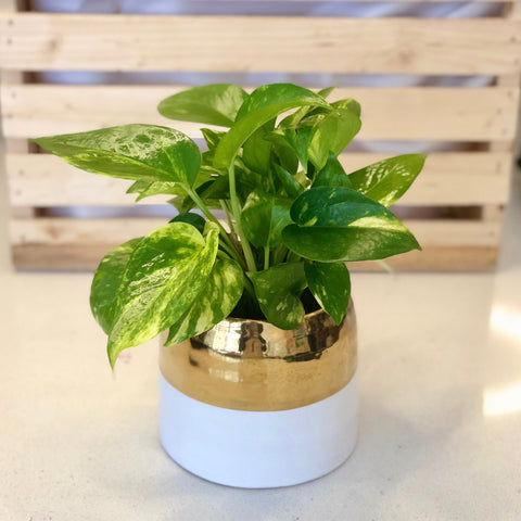 Pothos in White & Gold Pot