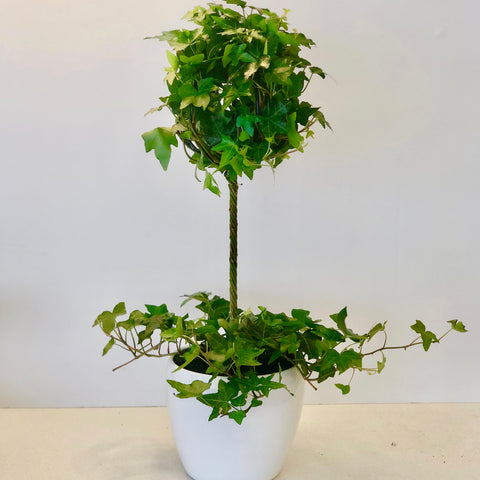 Ivy Topiary in White Pot