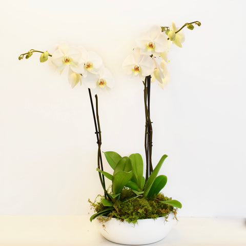 Spike Orchid Trio in Elegant Bowl