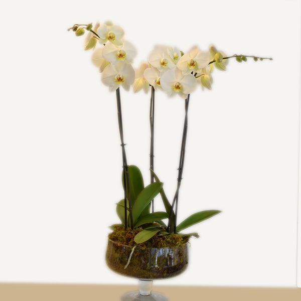 Spike Orchid Trio in Footed Glass Compote