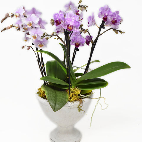 Mini Double Spike Orchid arrangement in White Stone Footed Vase
