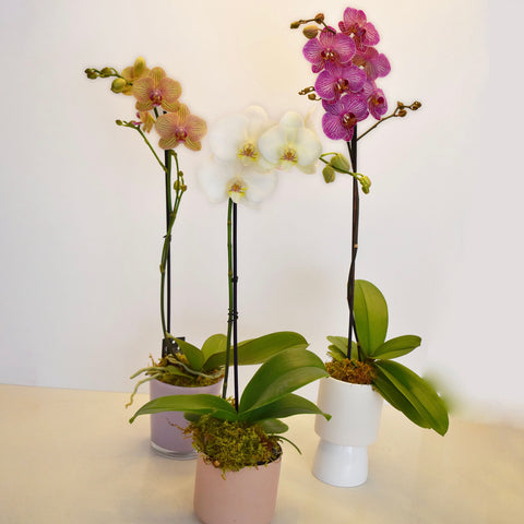Single Spike Potted Orchid Plant