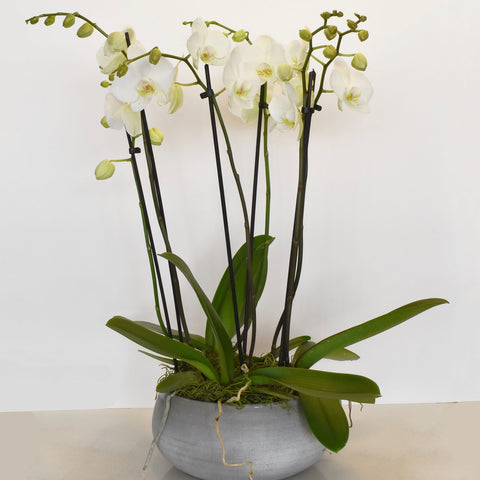 Luxury Double White Spike Orchid Arrangement