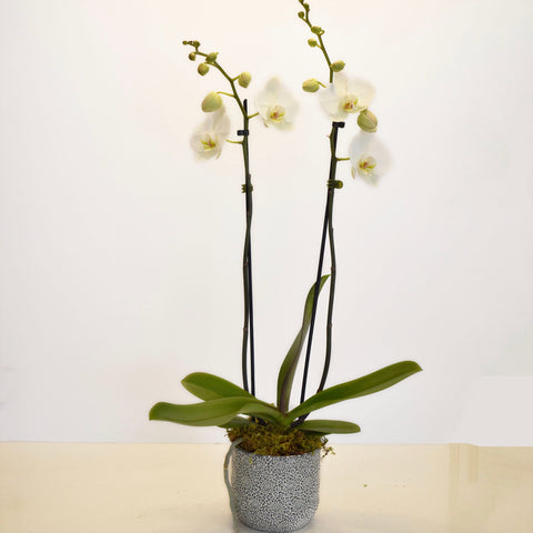 Double Spike Orchid Plant in Mosaic Pot
