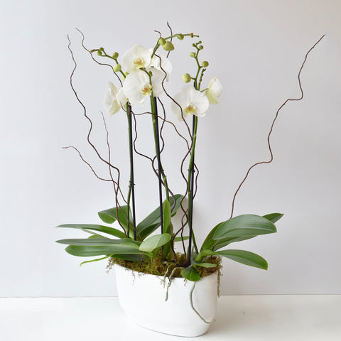 Spike Orchid Trio in White Stone Planter
