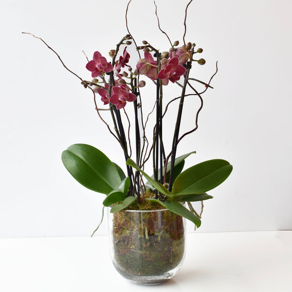 Mini Burgundy Double Spike Orchid arrangement in Glass Bowl