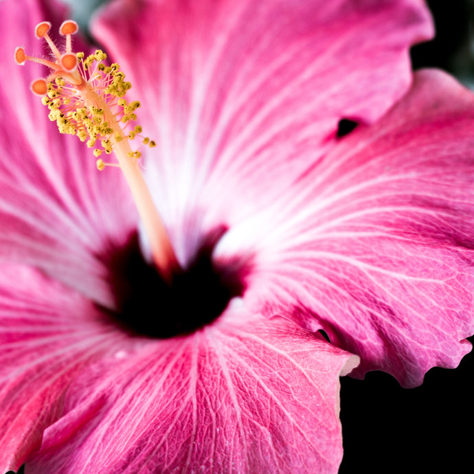 The (Flower) Power of Hibiscus Vanilla
