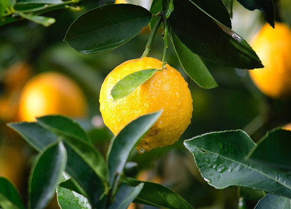 Lemon oil has nausea-relief properties