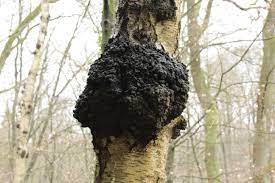 Chaga Mass on Tree