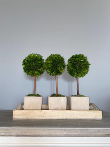 Real Boxwood Topiary Tree
