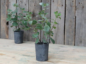 Mint Herb In Rustic Flowerpot