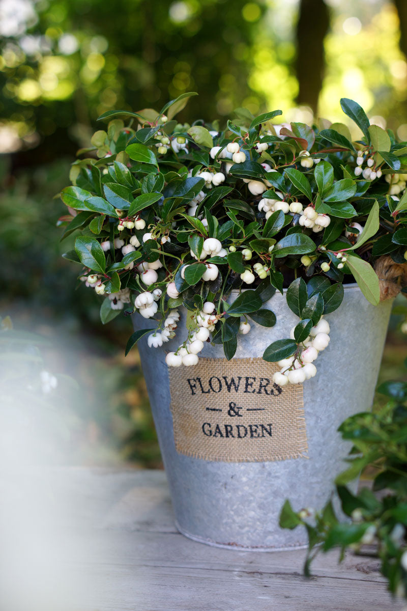 The chic Gaultheria 'Gaulthier Pearl': Plant of the month
