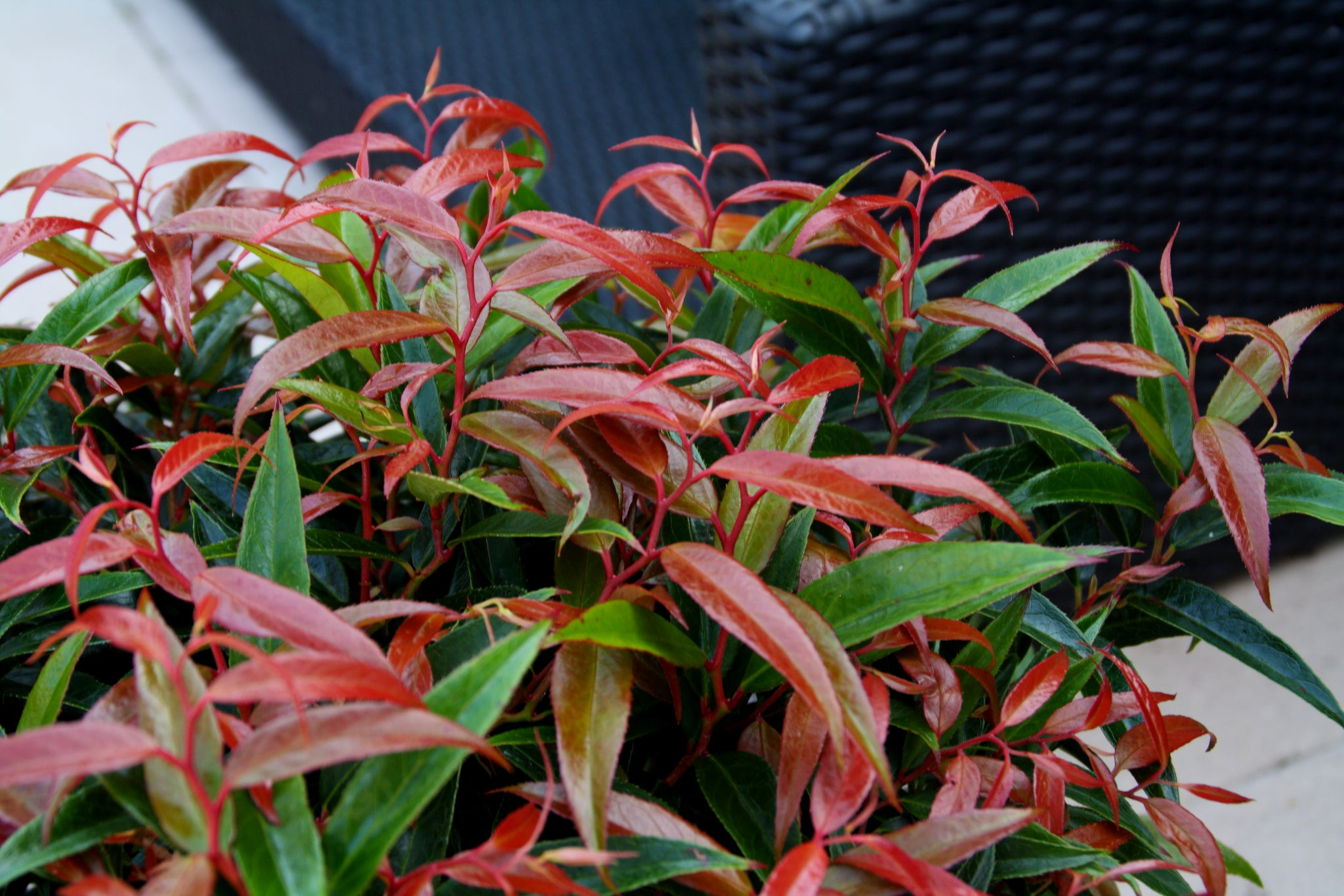 Start a graffiti garden with Leucothoe 'Burning Love'