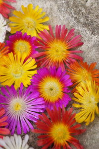 Plant of the Month: the easy care plant Delosperma