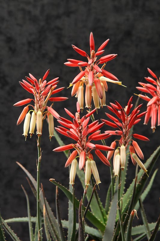 Aloe 'Safari Sunrise': The gateway to xeric landscaping