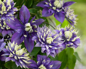 Plant of the Month: the new Urban Clematis 'Taiga'