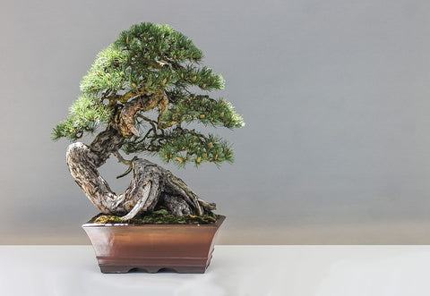Bonsai | Plants for Men