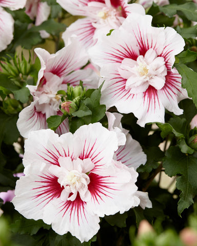 The ultra luxury of Hibiscus 'Chiffon': Plant of the Month