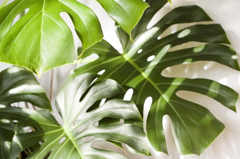 Monstera | Plants for Men