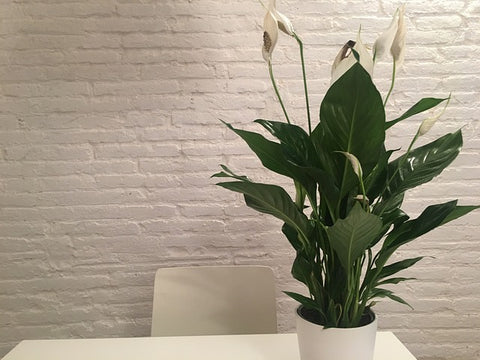 Peace Lily | Plants for Men