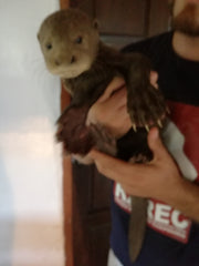 rescuing Daniel the giant river otter pup