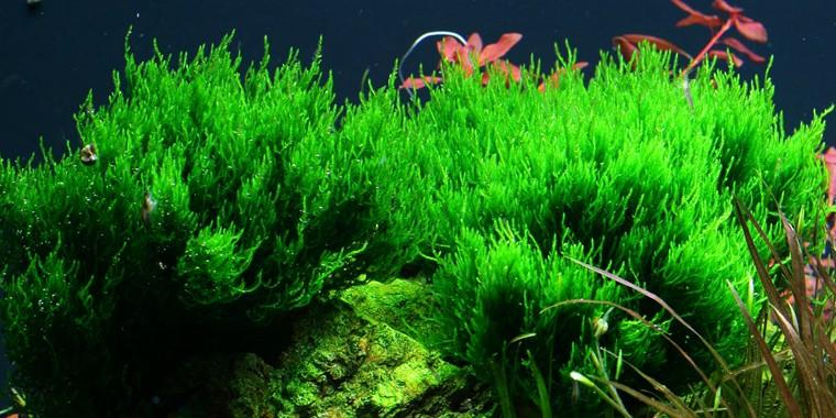 TROPICA 1-2 Grow TC (Taxiphyllum 'Flame')