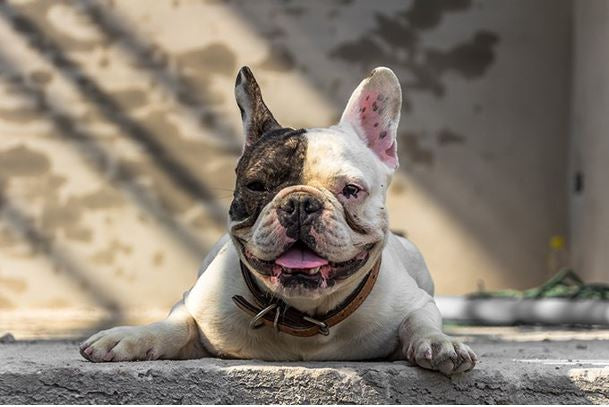 Health Challenges of Brachycephalic Dogs!!!