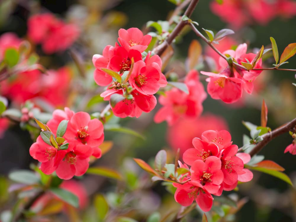 flower quince