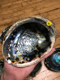6Witch3 abalone shell #15