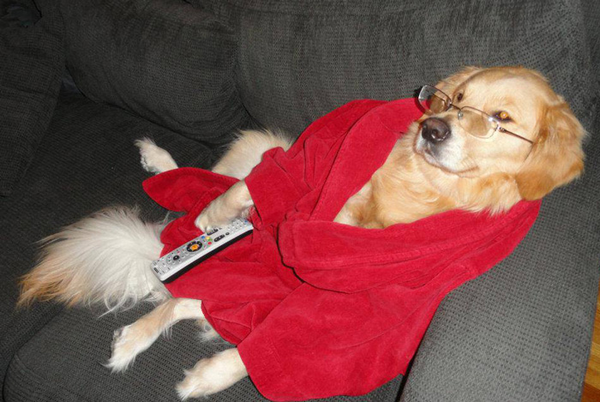 golden retreiver dog wearing red bathrobe and glasses