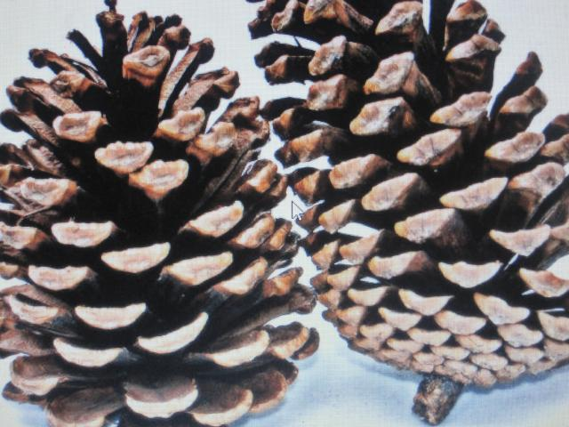 """Dried Floral Decor"" '100 Pine Cones'"