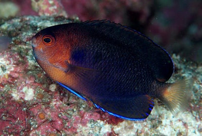 Blue Pigmy Angelfish