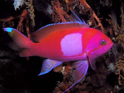 Square Block Anthias Male